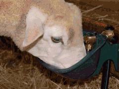 Abreuvoir ovins et porcins