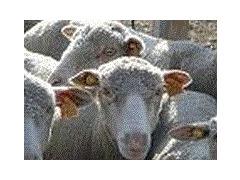 Pièces détachées ovins